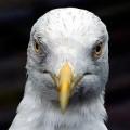 Welsh Seagull