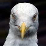 Hamilton Square Seagull