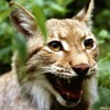 Lyra Lynx