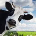 Simon The Cow