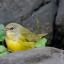 mourningwarbler