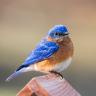 TheEasternBluebird