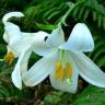 lilliegarden